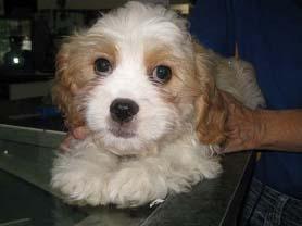 Buy Maltalier Puppy