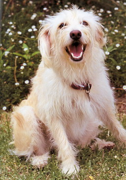 Labradoodles Standard Poodle X Labrador Puppy Buy In Cobram