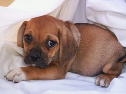 Puggles (Pug x Beagle) Puppy buy in Cobram