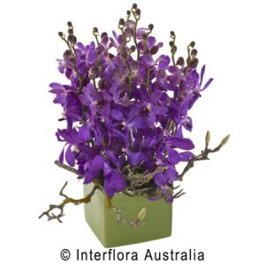 Buy Maya Orchids