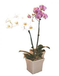 kaufen Die Orchideen