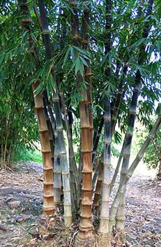 Dendrocalumus Asper 'betung hitam' (Thai Black Asper Bamboo) buy in