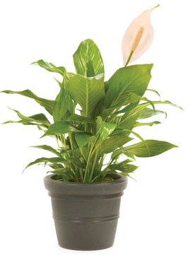 Buy Peace Lilly Flower