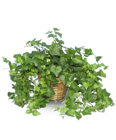 Buy English Ivy Flower