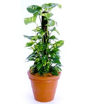 Buy Money Plant Devil's Ivy
