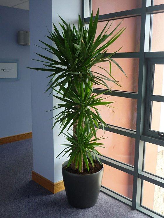Buy Yucca Agavaceae Plant