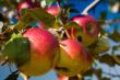 Buy Multi-Apples Tree