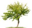 Buy Multi-Nashis Tree