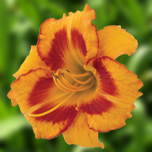 Buy All Fired Up Daylily