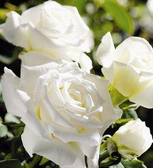 Buy Rose Pope John the 11th Rose