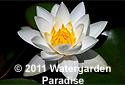 Buy Hardy Water Lilies