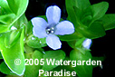 Buy Creeping Aquatic Plants