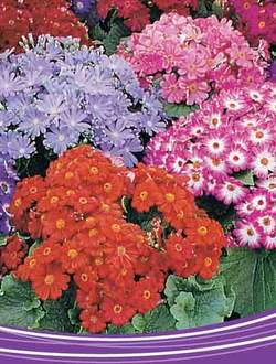 Buy Cineraria Mixed