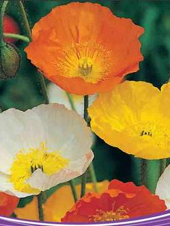 Buy Poppy Summer Promise Flower
