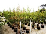 Buy Pyrus Ussuriensis Plant