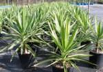 Buy Yucca Elephantipes Plant