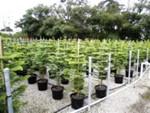 Buy Araucaria Heterophylla Plant