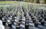 Buy Olive Assorted Plants