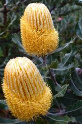 Buy Australian Flowers