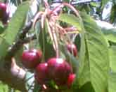 Buy Burgsdorf Cherries