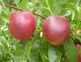 Goldmine Nectarines