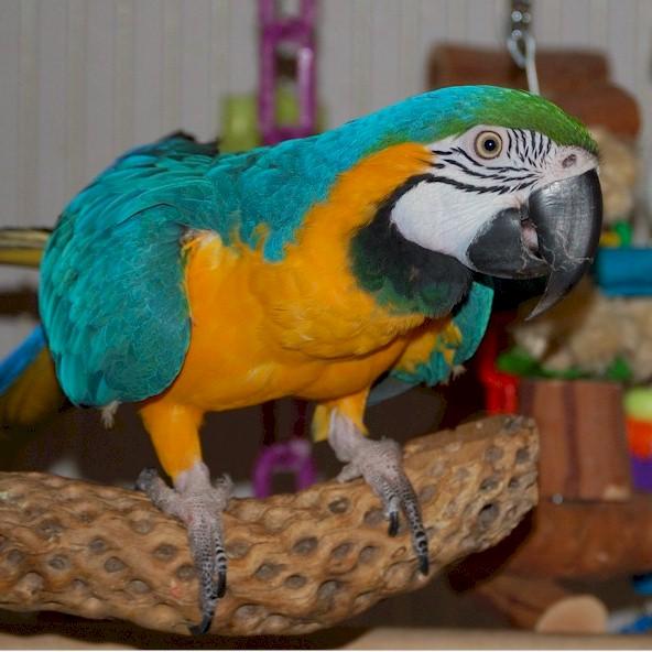 Buy Blue gold macaws parrots