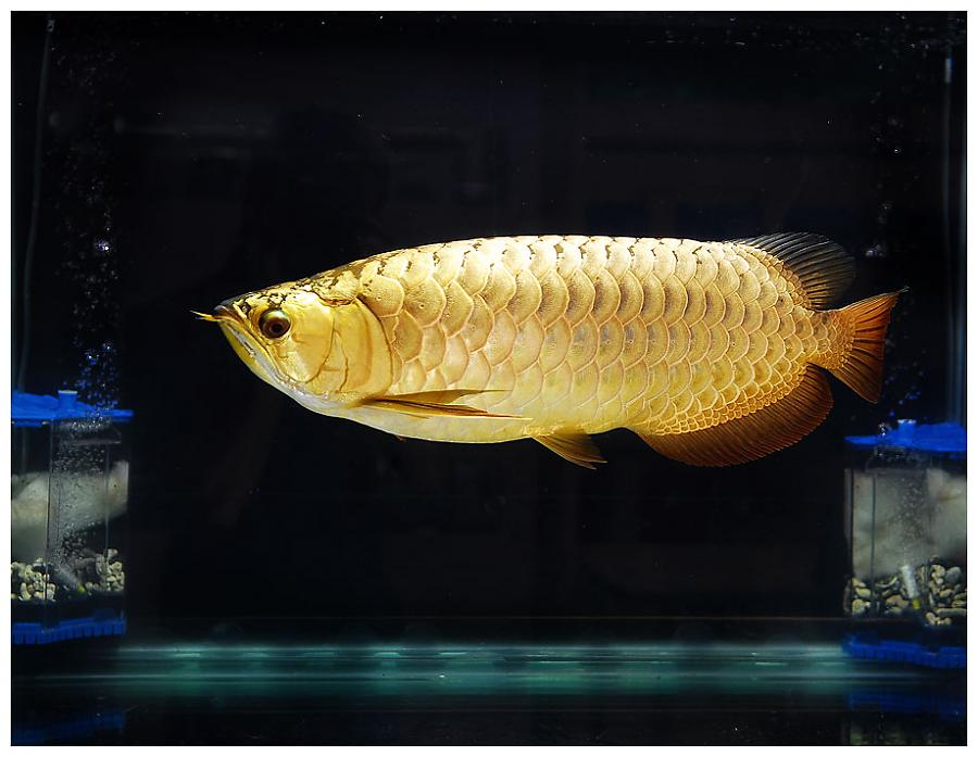 Buy 24k Golden Arowan Fish For Sale and MAny others