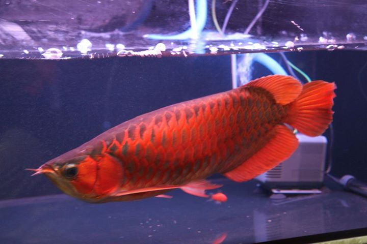 Buy Super red Arowana, Asian Red 24k Golden And Others For Sale Now