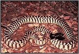 Black Head Python