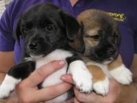 Tibetan Spaniel x Jack Russell Puppies