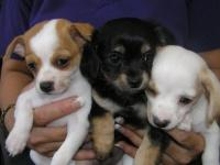 Chihuahua x Cavalier Puppies