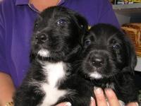 Spanador Puppies