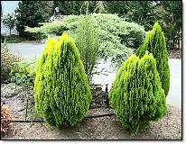 Conifers schrubs & trees