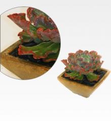 Medium Sized Succulent