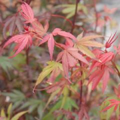 Acer palmatum Shaina