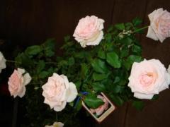Roses - Bush