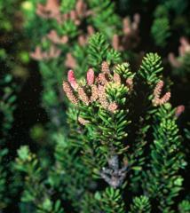 Podocarpus lawrencii ( Podocarpaceae)