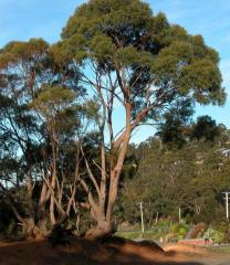Eucalyptus amygdalina (Myrtaceae)