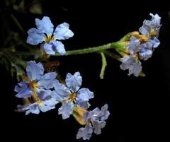 Dampiera (Goodeniaceae)