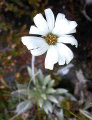 Celmisia saxifraga (Asteraceae)