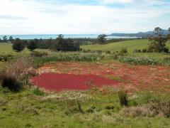 Azolla filiculoides (Red Azolla)