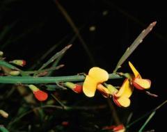 Bossiaea riparia (Fabaceae = Leguminosae)