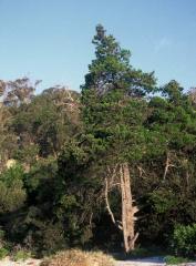 Callitris rhomboidea (Cupressaceae)