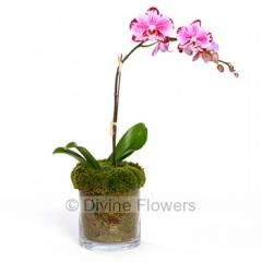 Butterfly (Phalaenopsis Orchid)