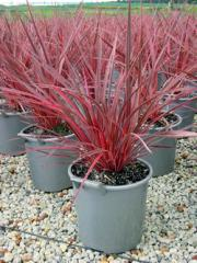 Cordyline banksii Electric Pink