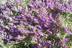 Hardenbergia violacea 'Mini Ha Ha'