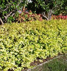 Ligustrum 'Lemon Lime and Clippers'