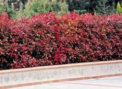 "Photinia x fraseri ""Red Robin"""