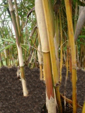 Alphonse Karr  - Bambusa multiplex
