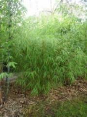 Himalayan Weeping Bamboo - Drepanostachyum